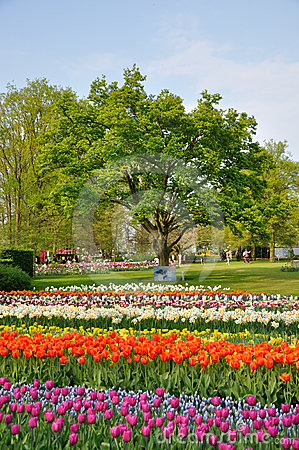 Purple, red, white and orange tulips with a tree