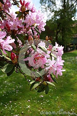 Purple rhododendron blossom
