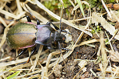 Purple-rimmed carabus beetle top view