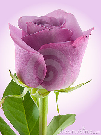 Free Purple Rose Royalty Free Stock Photography - 5035187