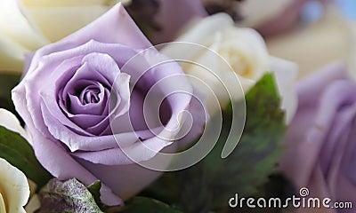 Purple rose up close