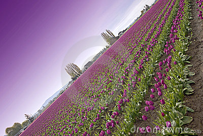 Purple Sky Tulips