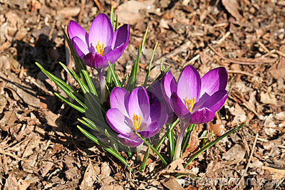 Purple Spring Crocuses Colorful Flowers