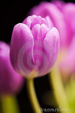 Purple Spring Tulips Isolated