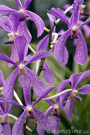 Free Purple Star Orchids Royalty Free Stock Photo - 14131505