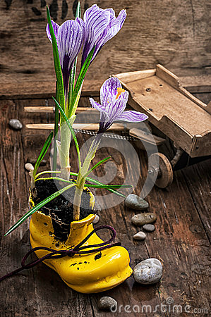 Free Purple Striped Crocus In The Shoe Royalty Free Stock Image - 51239676