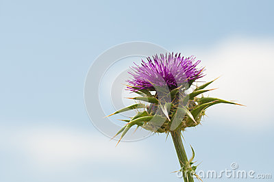 Purple thistle on blue sky