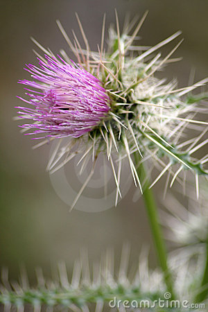 Purple Thistle Flower 3