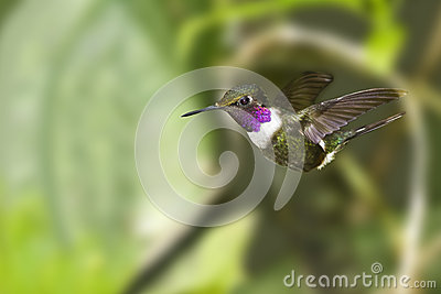 Purple-throated Woodstar Hummingbird in flight