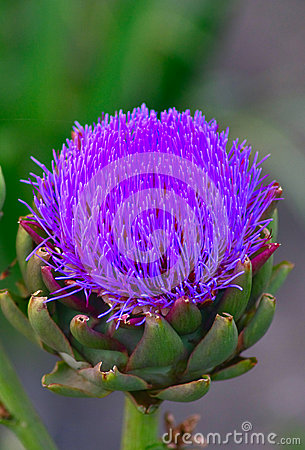 Free Purple Tropical Flower Stock Photos - 55928463
