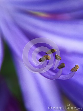 Free Purple Tropical Flower Stamens, Macro Lense Stock Images - 113321374