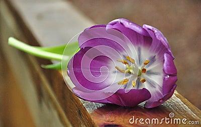 Purple Tulip on Deck Rail