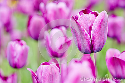 Purple tulips blooming in spring