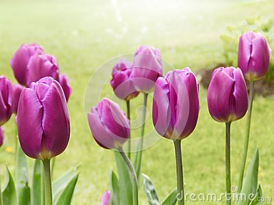 Purple tulips on a green background, spring season