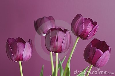 Purple tulips on purple 1