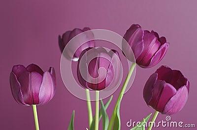 Purple tulips on purple 1
