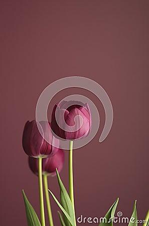 Purple tulips on purple 2