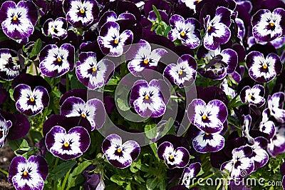 Purple viola tricolor