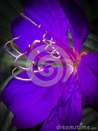 Free Purple Violet Flower With Stamens And Shadows Royalty Free Stock Image - 111891276