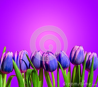 Purple violet tulips flower composition spring holiday greeting card Stock Photo