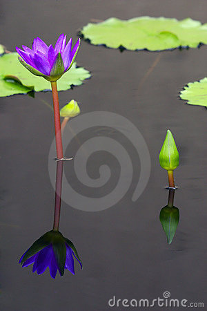 Purple water-lily and its refl
