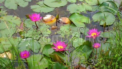 Purple waterlily flowers in the pond stock video