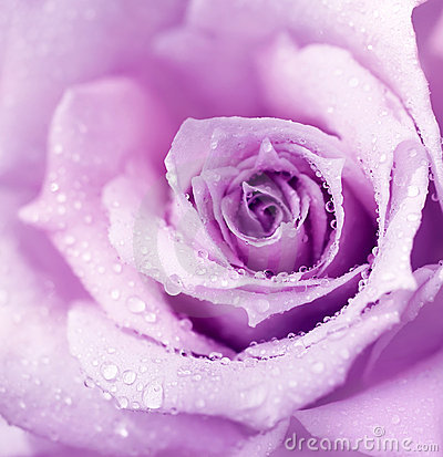 Free Purple Wet Rose Background Royalty Free Stock Photo - 19841055