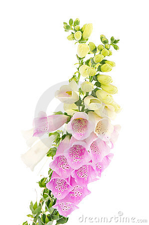 Purple and white  Foxglove