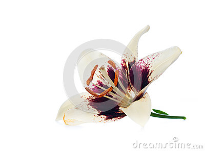 Purple white lily flower