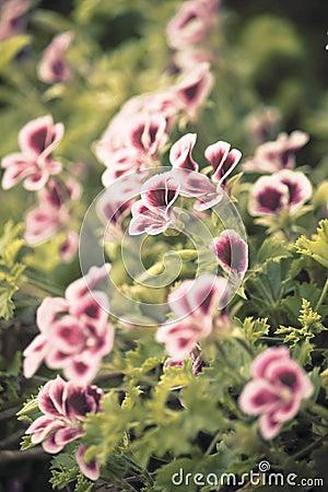 Purple and White Pelargonium (Geranium) Flowers