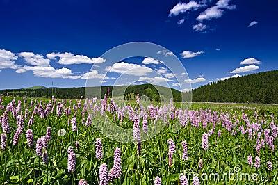Purple wild flowers, deep blue sky and mountains