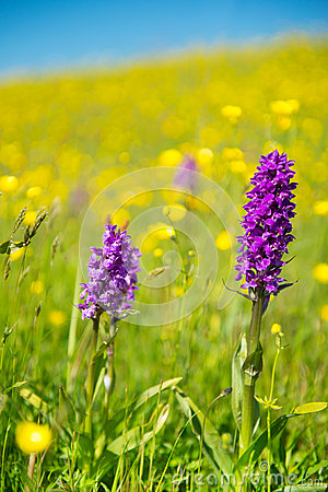 Purple wild Orchid