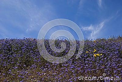 Purple Wildflower Fields