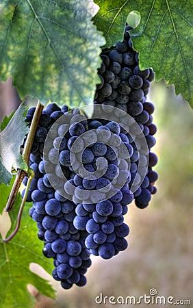 Purple wine grapes