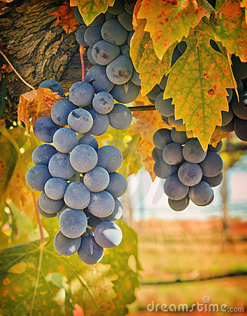 Purple Wine Grapes, California