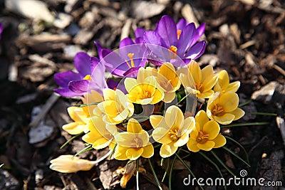 Purple and yellow crocus