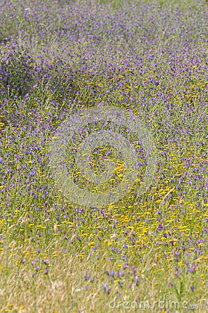 Texture and Colors, Purple Yellow Wild Flowers, Meadow