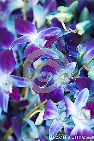 Purplish Blue Orchids Stock Photos Image 11729893