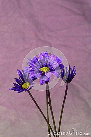 Purpura tusenskönor