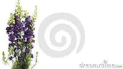 Purpurfärgad riddarsporre (riddarsporresp ) blommaTime-schackningsperiod