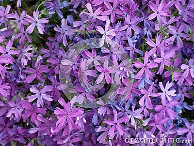 Purpurrote Blumen