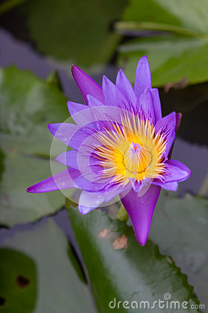 Purpurrote Wasserlilie