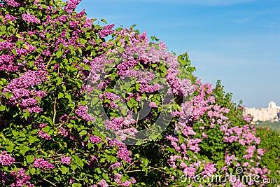 purpurroter fliederbusch der im mai tag bl ht stadtpark stockfoto bild 40384641. Black Bedroom Furniture Sets. Home Design Ideas