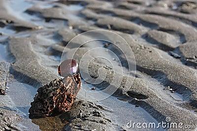 Purpurrotes Shell auf einer Entspannung plätscherte Sandstrand
