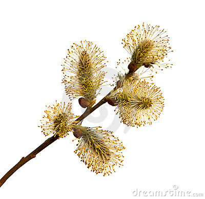 Free Pussy-willow Branch Royalty Free Stock Image - 8197336