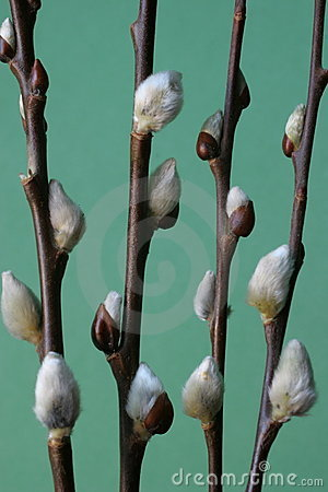 Pussy willow branches