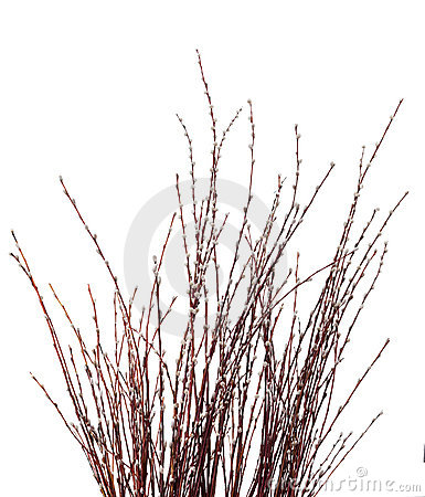 Free Pussy Willow Catkins Stock Images - 18870474