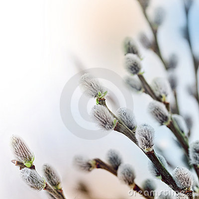 Free Pussy Willow Flowers In Spring Royalty Free Stock Photography - 18263297