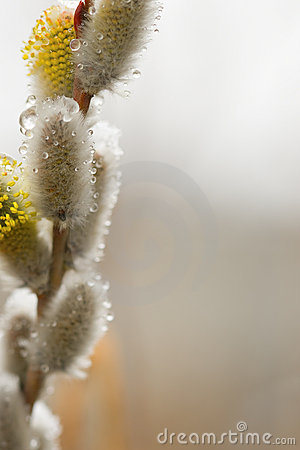 Pussy-willow with thawn snow
