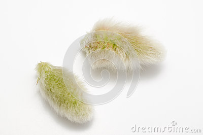 Pussy willows seed